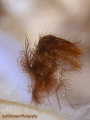 Hairy shrimp with eggs