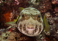 Puffer