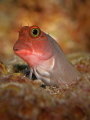 Redlip Blenny