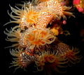 tiger anemones