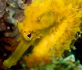 The Picture of the shy female tigertail seahorse was taken at the local Islands Ao Nang / Krabi, Thailand.