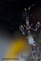 Face to face with a pregnant Skeleton Shrimp