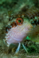 African Blenny, white fase
