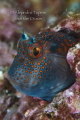 Blenny de Perfil, Acapulco Mexico