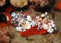 Halequin Shrimp enjoying a starfish snack