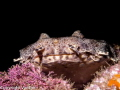 Wobbegong shark, lying on a ledge