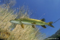 Flying Pike... :O)...