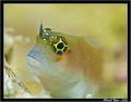 Portrait of a blenny....