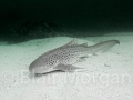 Leopard Shark - Julian Rocks, Byron Bay, NSW, Australia