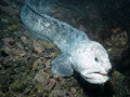 Wolf Eel..My sea andn sea DGX-1 was crapping out.. Took a lot of photos but most of them look good only in black and white...Time to upgrade...