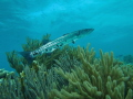 Barracuda on the reef, Bonaire