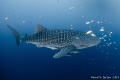 Whale Shark, Papua