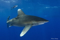 Oceanic White Tip - CAT Island Bahamas