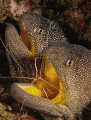A pair of yellow-mouthed moray eels.