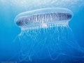 Atlantic Jelly in the Mediterranean sea