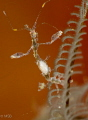 Skeleton shrimp with eggs.