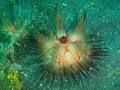 This photo of a sea urchin lit up with my flash and came out like like something I had never seen before so I thought I would submit it! It was taken in Lembeh strait, off Sulawesi, Indonesia.
