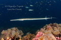Trumpet fish in the dark