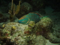 Parrotfish on a night dive at the Salt Pier in Bonaire
