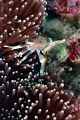 Porcelain Anemone Crab