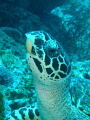 I saw this turtle, and was able to get close enough with my Olympus tough camera and take this shot of his head as he looked Up from eating a meal of a soft coral.