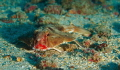 Red Lipped Batfish. Dive guide didn't want us to get closer than three feet with strobes. This photo is cropped.