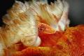 shrimp in spanish dancer