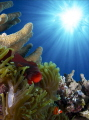 Clownfishes in sun rays