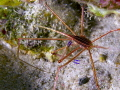 arrow crab