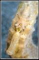 Portrait of a Seahorse