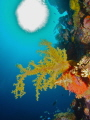 Yellow Soft Coral  Truk Lagoon