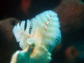 Christmas tree worm in Bonaire