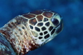 Green Turtle, 100 mm macro with 1.4 teleconverter