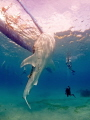 Whaleshark in Oslob. The feeding is controversial, the experience being in the water with the giants is however unique.