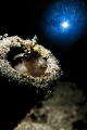 Blenny under the light.