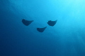Three mobula rays passing by