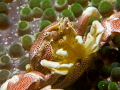 Porcelain crab shot with my 105 mm macro