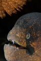 Portrait of a blackcheek moray.