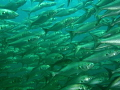 this shot of a wall of fish was taken at the Busselton jetty  which is a dive site close to where I live in Western Australia. I try to dive here once per year as it is a good easy dive and there are usually plenty of fish as this shot indicates
