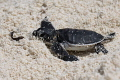 Exhausted.....!!  A tiny baby Green Turtle hatching making his first journey out to the ocean.