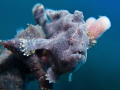 cute little blue frogfish