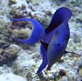 Common Blue Trigger Fish