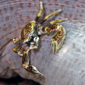 Porcelain crab  NIKON D7000 in a Seacam