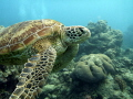 Beautiful sea turtle at Norman Reef, Great Barrier Reef, Cairns.