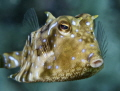 Those Thornback Cowfish are often hard to spot but once you get close to them they amuse me with their 'frozen' face expression.
