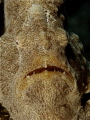 A face only a mother could love, although one of the world's fastest prey catching creatures - Commerson's Frogfish!