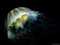 Chrysaora hysoscella. Marine Reserve