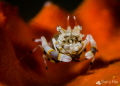 Striped Bumblebee Shrimp @ Anilao