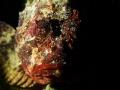 Scorpaena scrofa in the dark Canon G7 + Underwater Photo-Video Light