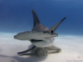 Great Hammerhead - stiring up the sand